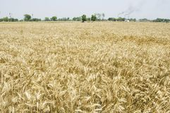 Indian Wheat Fields. Now wheat fields are the stage of the cutting in India royalty free stock photo
