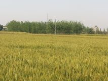 Indian Wheat Fields Royalty Free Stock Image