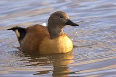 Indian Whistling Duck Royalty Free Stock Photography
