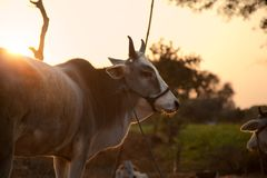 Indian white cow in farmland Stock Photo