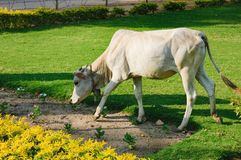 Free Indian White Cow Is Eating Grass, Hampi, India Stock Images - 105493594