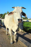 Indian white cow Royalty Free Stock Photos