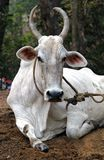 Indian white cow resting on the ground Stock Images