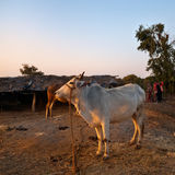 Indian white cow in village Stock Photography