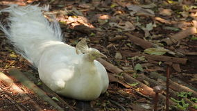 Indian White Peafowl or peacock lay down stock footage