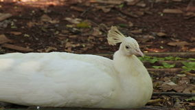 Indian white Peafowl or peacock lay down and sleeping stock footage