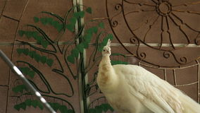 Indian white Peafowl or Peacock stand and looking around stock footage