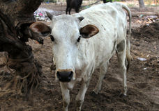 Indian white sacred cow on the dump at outskirts of city, Goa Stock Photography