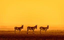 Indian Wild in golden light. The Indian wild or Baluchi wild or ghudkhur Equus hemionus khur royalty free stock images