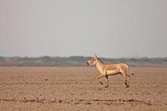 Indian Wild Ass. Equus hemionus khur Ghudkhar at Little Rann of Kutch, Gujarat Royalty Free Stock Image