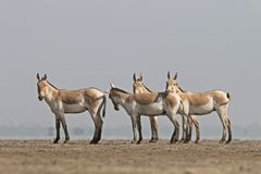 Indian Wild Ass Royalty Free Stock Photos