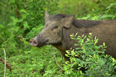 Indian Wild Boar royalty free stock photography