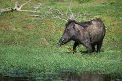 Indian Wild Boar - Sus scrofa cristatus royalty free stock photography