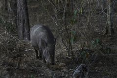 Indian Wild Boar - Sus scrofa cristatus, Sri Lanka stock photo