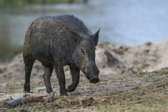 Indian Wild Boar - Sus scrofa cristatus, Sri Lanka. Indian Wild Boar - Sus scrofa cristatus searching for food neat to the lake, Sri Lanka royalty free stock images