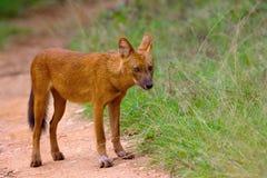 Indian Wild Dog, Cuon alpinus, Nagarhole Tiger Reserve, Karnataka. India Stock Photos
