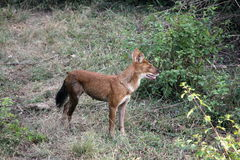 Indian Wild Dog. The dhole Cuon alpinus is a canid native to Central, South and Southeast Asia. Other English names for the species include Asiatic wild dog Stock Photo