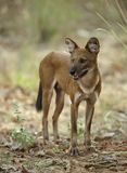Indian Wild Dog looking out for Prey. At Tadoba Andhari Tiger Reserve Royalty Free Stock Images