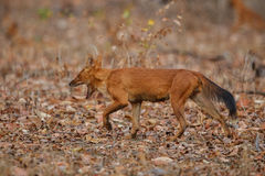 Indian wild dog in the nature habitat in India Royalty Free Stock Photo