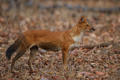 Indian wild dog in the nature habitat in India Royalty Free Stock Images