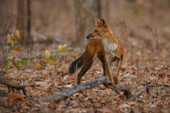 Indian wild dog in the nature habitat in India Stock Images