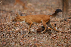 Indian wild dog in the nature habitat in India Royalty Free Stock Image
