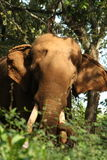 Indian Wild elephant Stock Image