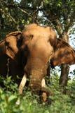 Indian Wild elephant. Portrait of an indian wild elephant Stock Image