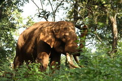 Indian Wild elephant. An indian elephant in the jungle eating leaves from the trees Stock Photography