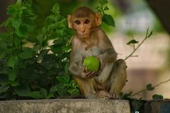 The Indian monkey. The old indian monkey was shot sitting on the roof of a house , looking mesmerizingly and carefully towards the camera. The monkey when shot Stock Photography