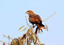 Indian wild eagle Stock Photo