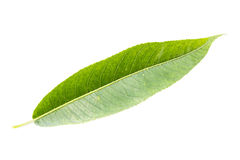 Indian Willow green leaf. Isolated on a white. Royalty Free Stock Photo