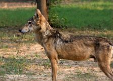 Indian wolf. Beautiful shot of indian wolf Stock Photos
