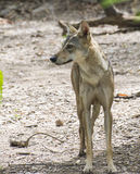 Indian Wolf. (Canis lupus pallipes) is an endangered species on canine found in India. They are confined into two or three places in India in very few numbers Royalty Free Stock Photography