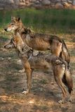 Indian wolfs Stock Image