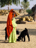 Indian woman with black goats. Covered Indian village woman with black goats Stock Image