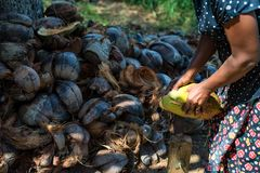 Indian woman dehusks coconuts. Close up Indian woman uses special device to dehusk coconuts with pile of husk in background Royalty Free Stock Images