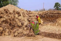 Indian woman farmers stacking hays Stock Photos