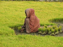 Indian woman on the field. Indian village woman working on the field Stock Images
