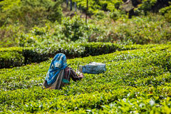 Indian woman harvests tea leaves at tea plantation at Munnar Stock Images