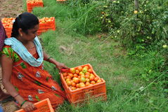Indian woman with her harvest - tomato harvest Royalty Free Stock Photos
