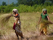 Indian woman uses a sickle Stock Image
