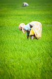 Indian woman working at rice field. India, Tamil Nadu, near Thanjavour Stock Images