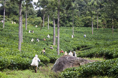 Indian women pick in tea leaves Royalty Free Stock Photography