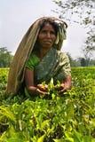 Indian women picking tea leaves Royalty Free Stock Image