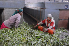 Indian women sorting tea leaves Royalty Free Stock Photography