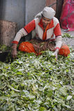 Indian women sorting tea leaves Royalty Free Stock Images