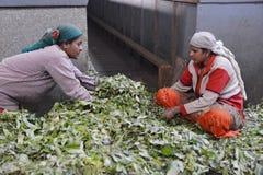 Indian women sorting tea leaves Stock Photos