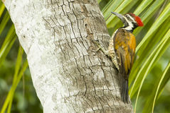 Indian woodpecker Royalty Free Stock Image