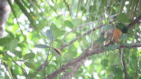 Indian woodpecker perched on tree. Indian woodpecker perched on a tree branch jet fruit and fly out the palm trees stock footage